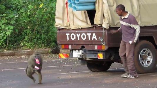 Estos babuinos ladrones roban en el momento más oportuno