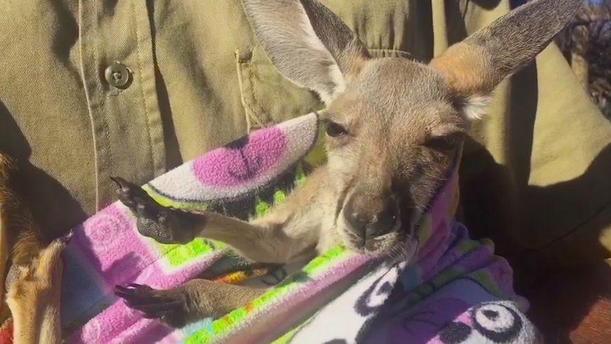 Un cangurito huérfano descansa en un marsupio artificial