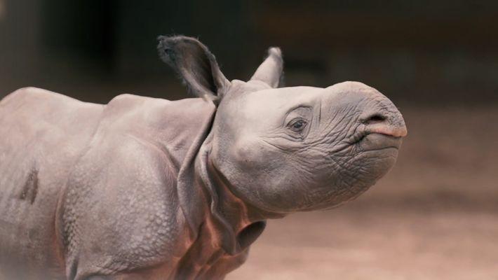Este rinoceronte indio bebé ha nacido en el zoo de Chester