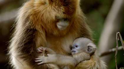 Así tratan los monos dorados a la primera cría que nace en primavera