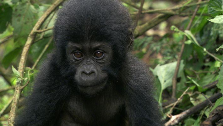 Conoce a la mujer que crió a un bebé gorila cuya madre fue asesinada