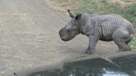 Un bebé rinoceronte se enfrenta a un coche, pero luego cambia de idea