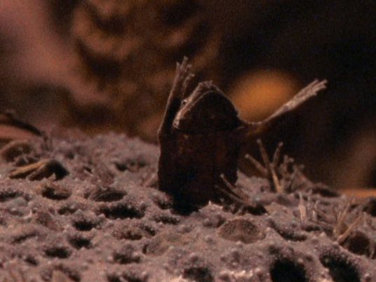 Observa cómo estas crías de sapo de Surinam salen de la espalda de su madre