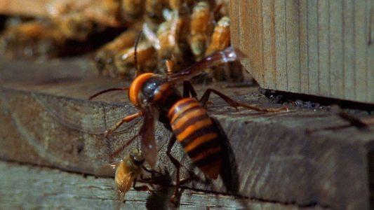 Enormes avispones asiáticos atacan una colmena de abejas melíferas