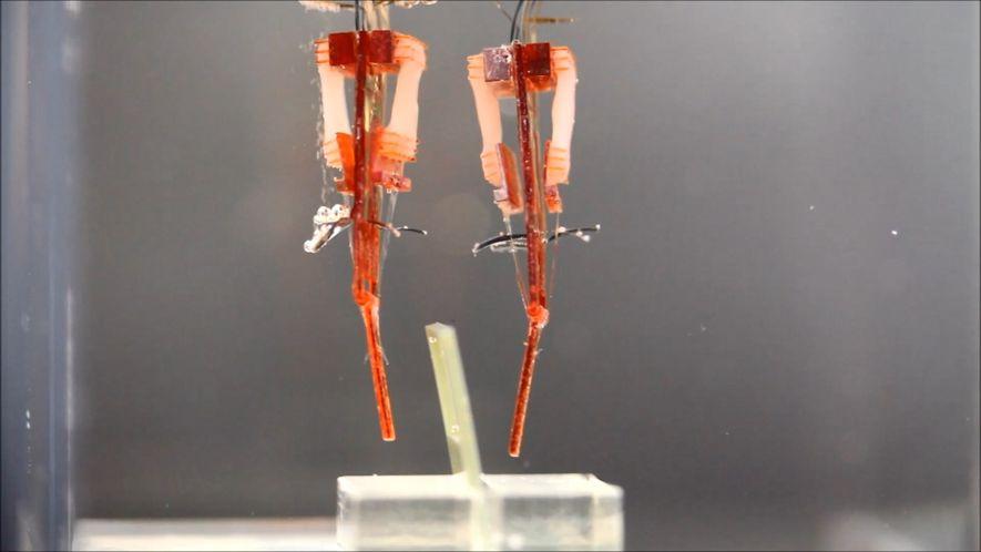 Estos robots usan tejido muscular vivo para imitar los dedos humanos