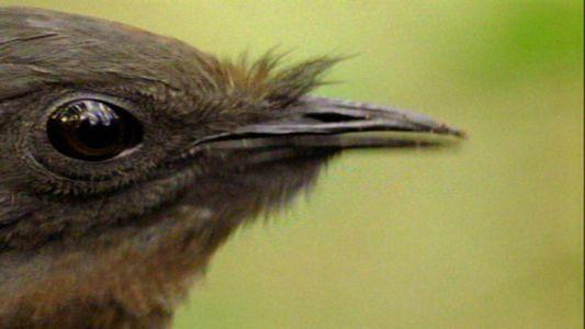 Esta ave puede imitar desde una sierra mecánica hasta la alarma de un coche