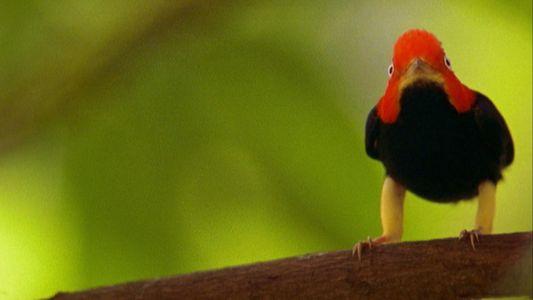 """Estos pájaros hacen el """"moonwalk"""" para impresionar a las hembras"""