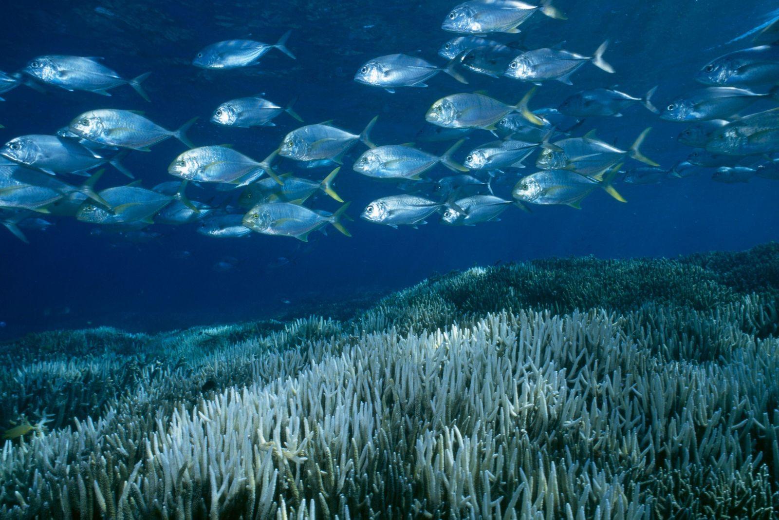 Coral blanqueado