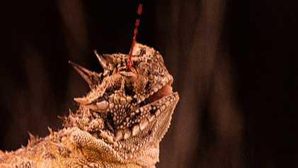 La extraña y sangrienta estrategia del lagarto cornudo para repeler a los depredadores