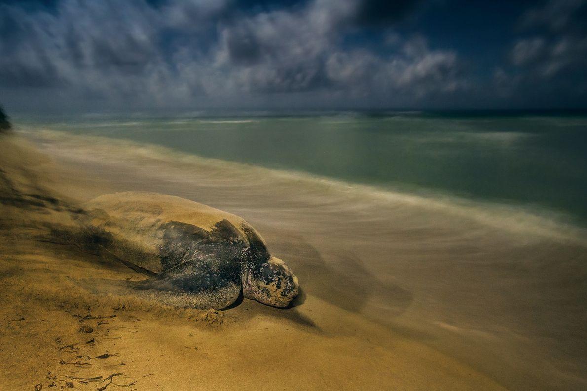 Una tortuga laúd abandona la playa en la que ha puesto sus huevos en el refugio …
