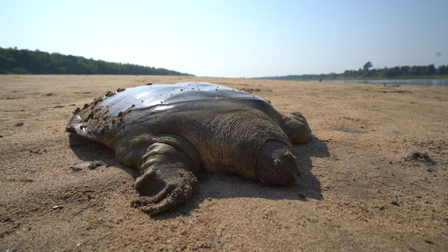 Ponen en libertad a una rara tortuga de Cantor
