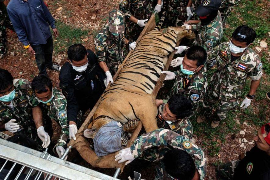 Tras varias denuncias de maltrato animal y cría para el tráfico ilegal, 147 tigres fueron incautados ...
