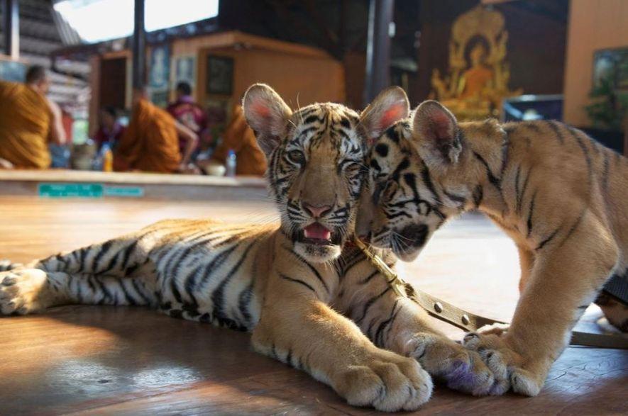 Los visitantes del Templo del Tigre pagaban por alimentar a los cachorros con biberón, como los ...