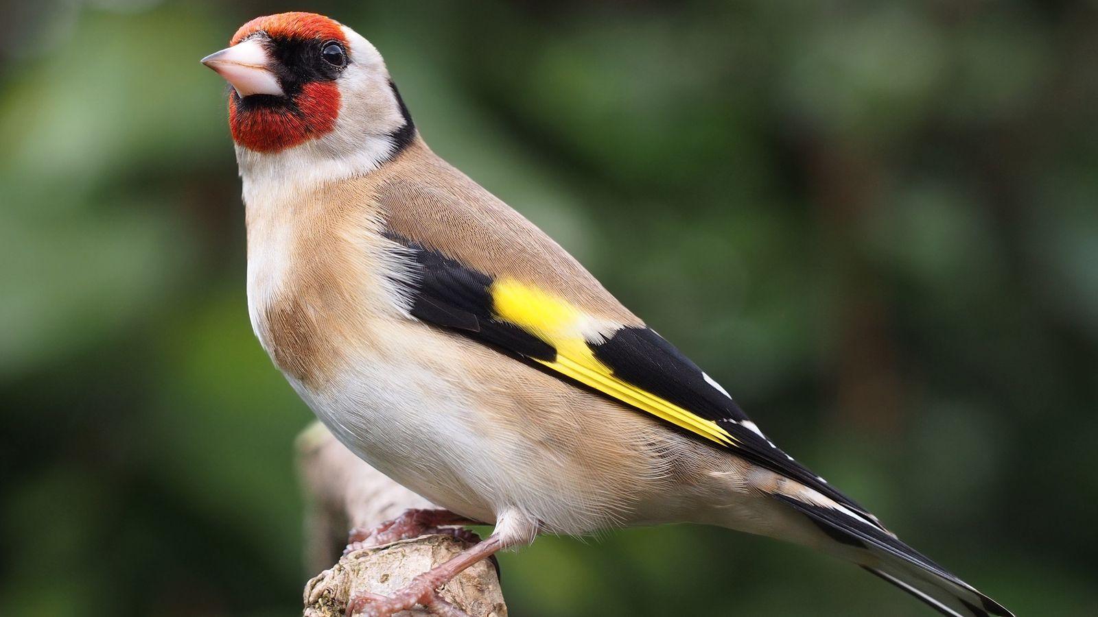 Caza aves cantoras