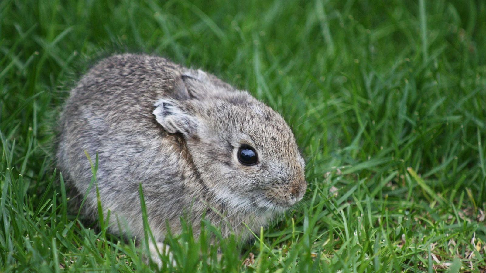 Conejo pigmeo