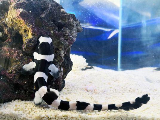 Nace el primer tiburón bambú en el Oceanográfic