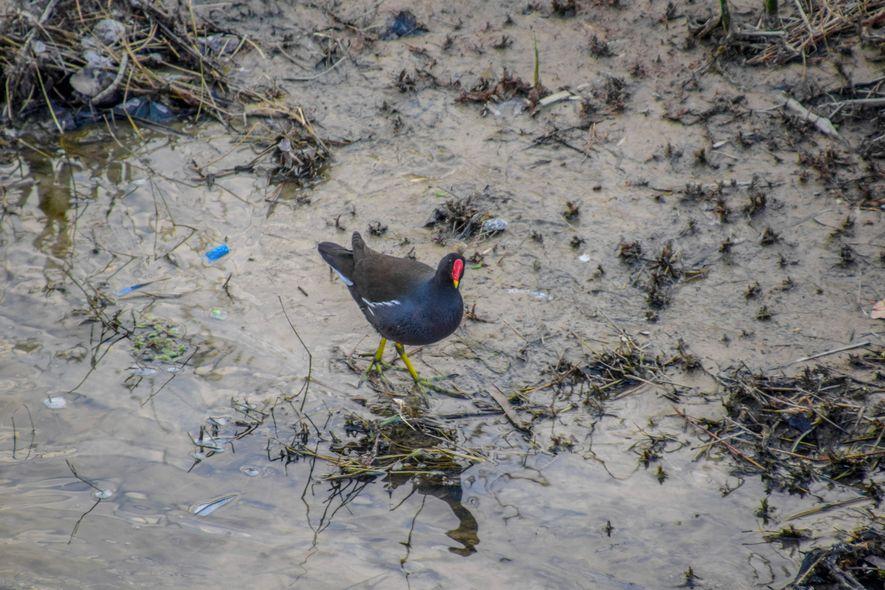 Una gallineta común peinando la orilla del río en busca de algo que llevarse al pico.