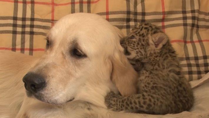 Una perra amamanta a una cría de leopardo del Amur