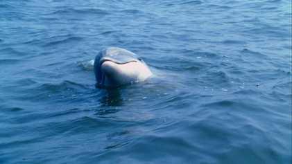 Descifran cómo se comunican los delfines