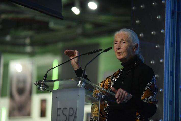 Jane Goodall 130 aniversario