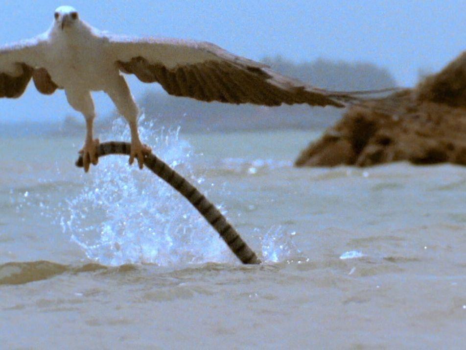 Un pigargo se enfrenta a una cobra venenosa