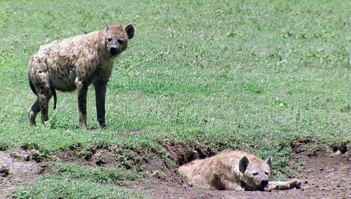 El secreto de las hienas