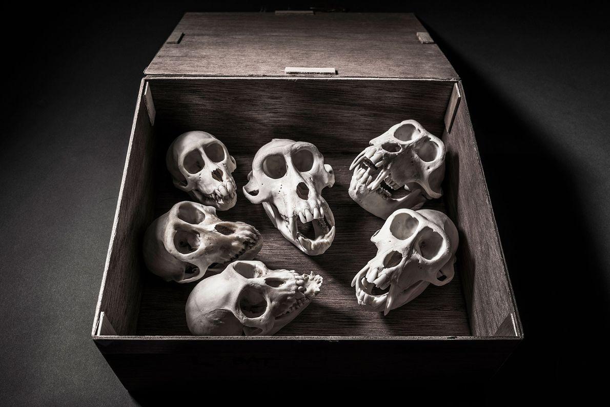 Cráneos de monos