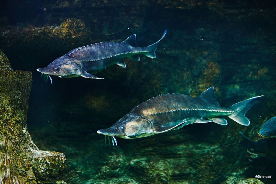 El último ejemplar de esturión murió en 1992 cerca de la desembocadura del Guadalquivir por la imposibilidad de remontar el río para reproducirse debido a una presa.