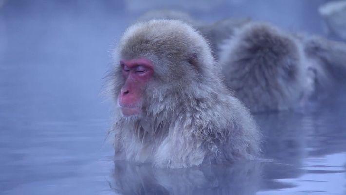 A los macacos japoneses les encanta relajarse en fuentes termales