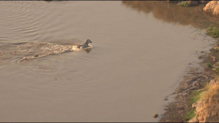 Una cebra escapa de un cocodrilo para acabar en las fauces de unas leonas