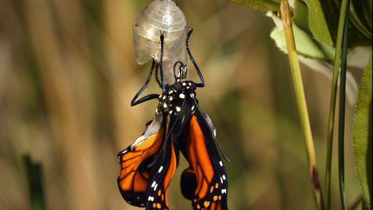 Esto es lo que sucede durante la metamorfosis de una mariposa monarca