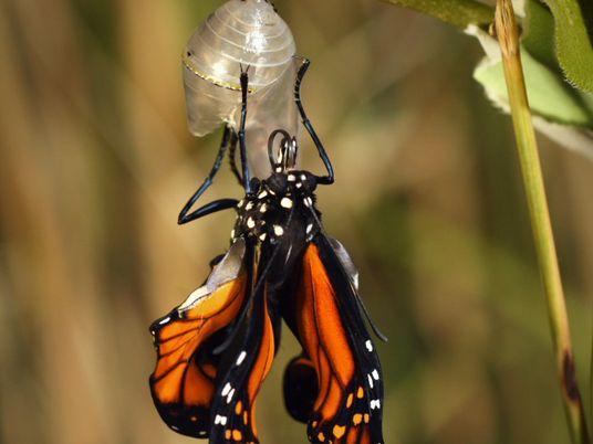 VÍDEO: la espectacular metamorfosis de una mariposa monarca