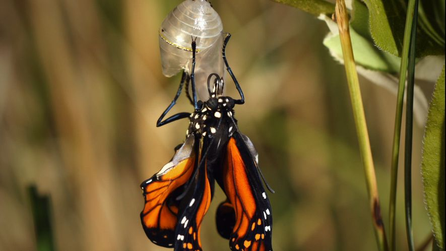 Esto es lo que sucede durante la metamorfosis de una mariposa