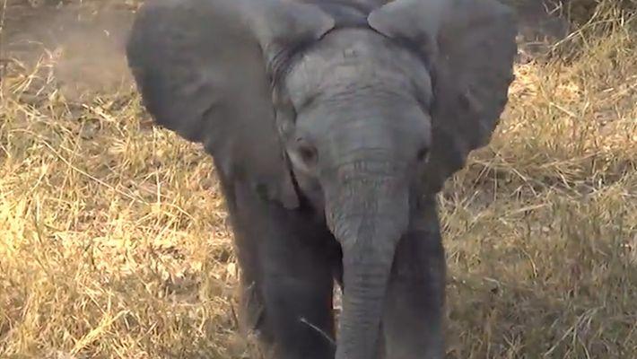 A este adorable bebé elefante no le gustan demasiado las cámaras