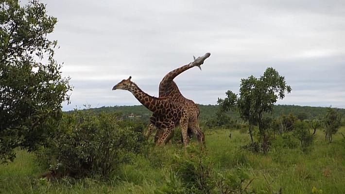 Así pelean las jirafas