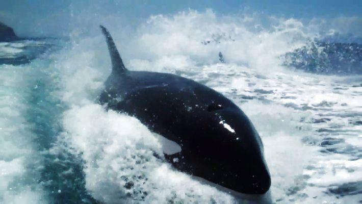 Una manada de orcas persigue un barco turístico