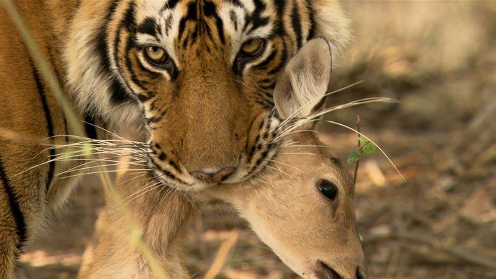 Esta tigresa de Bengala tiene que luchar contra uno de los suyos para conseguir alimento
