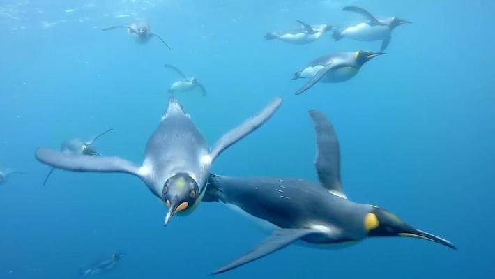 En este vídeo, sentirás que nadas junto a pingüinos rey