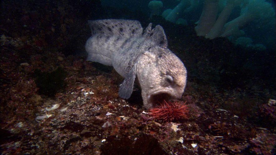 Curiosidades sobre las anguilas lobo