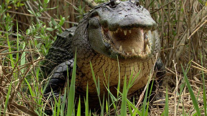 Los aligátores, superdepredadores capaces de regenerar sus dientes