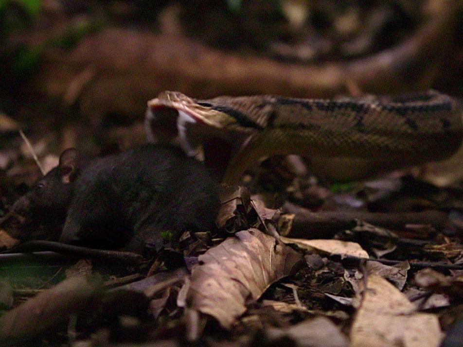 La cascabel muda tiene un veneno increíblemente mortal