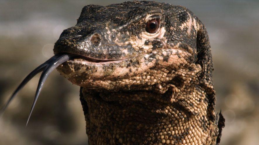 Los varanos acuáticos, unos de los lagartos más inteligentes del mundo