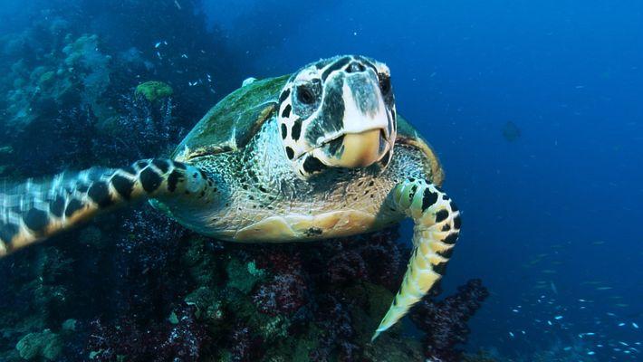 Las tortugas carey regresan al lugar donde nacieron para poner sus huevos