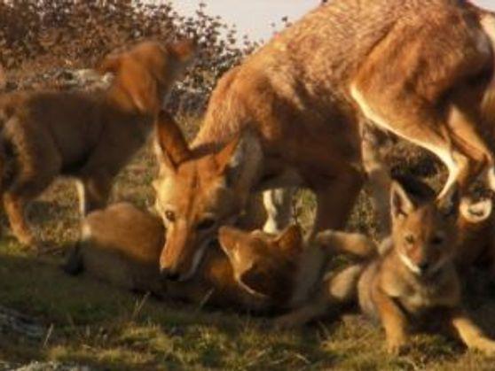 VÍDEO: Esta hembra y su pareja son los únicos supervivientes de una manada de lobo etíope, ...