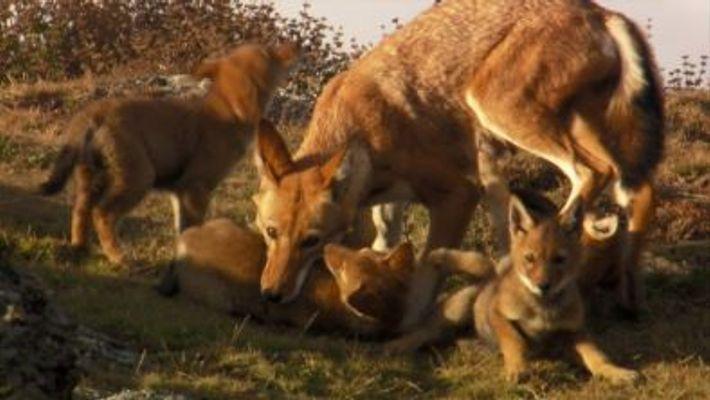 Los lobos etíopes, unos de los carnívoros más raros del planeta