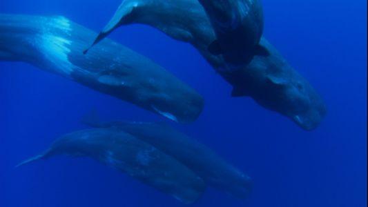 Los cachalotes hembra se sumergen 3.200 metros en busca de comida para sus crías