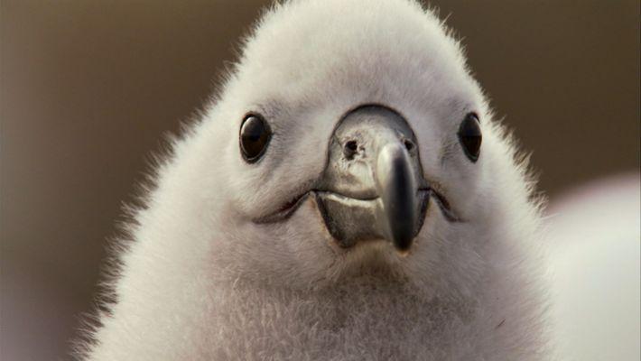 Los albatros establecen vínculos que pueden mantenerse durante décadas