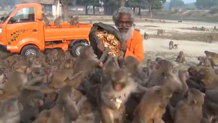 Un hombre alimenta a decenas de monos en la India