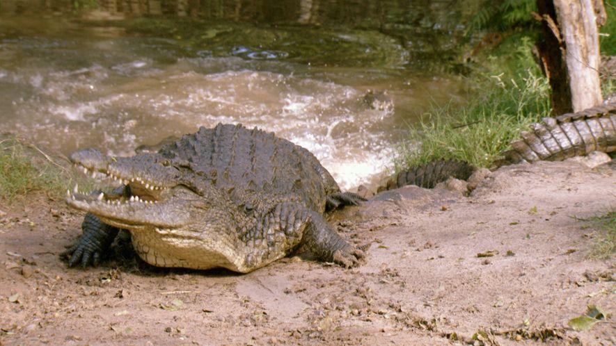 Un cocodrilo devora una cebra