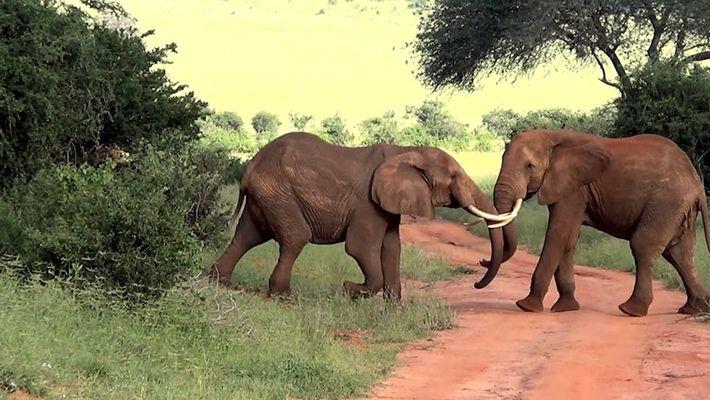 Impresionantes imágenes de cinco elefantes luchando